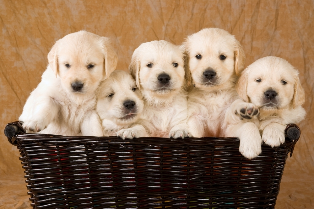 A group of puppies in a basket